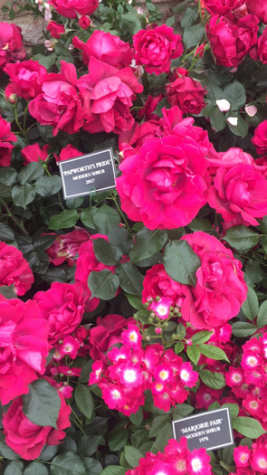 pink shrubs.jpg