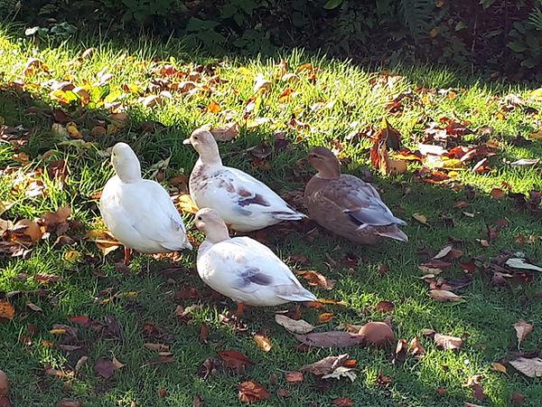 Ducks at Cotton Farm.jpg