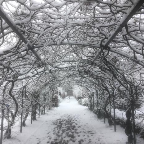 The wisteria arch in winter in Walkden g