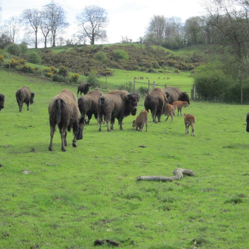 Bouverie Lodge Farm Bison.jpg