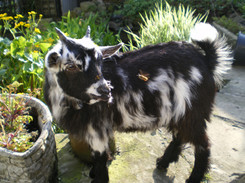 Woody the goat at Bridge Farm Cottages B