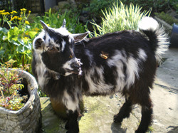 Woody the goat at Bridge Farm Cottages B
