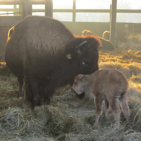 Bouverie Lodge Bison Farm baby.jpg