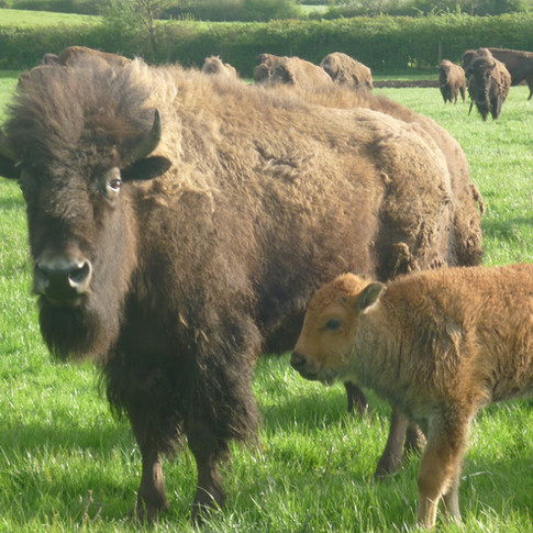Bouverie Lodge Bison Farm mother and child.jpg