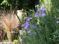Aster in perennial and shrub border