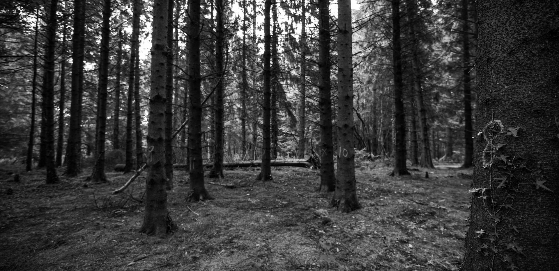 Irelandforest8bw.jpg
