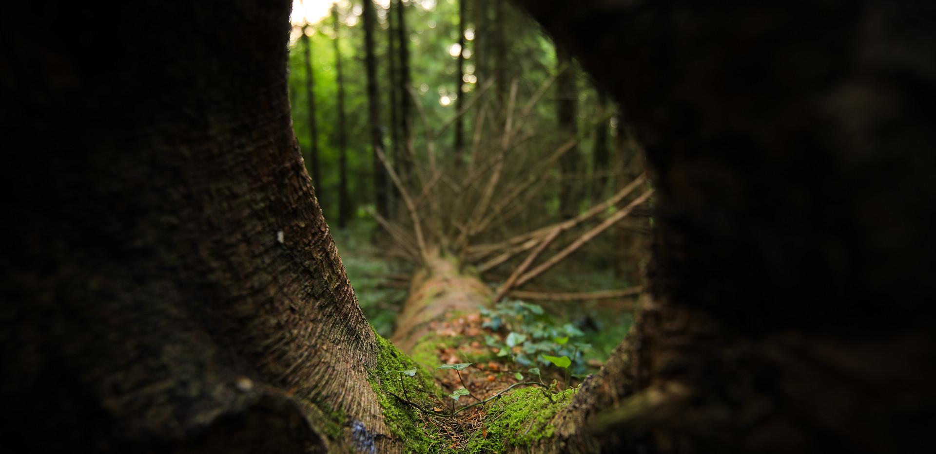 Irelandforest9.jpg