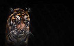 Tigered3