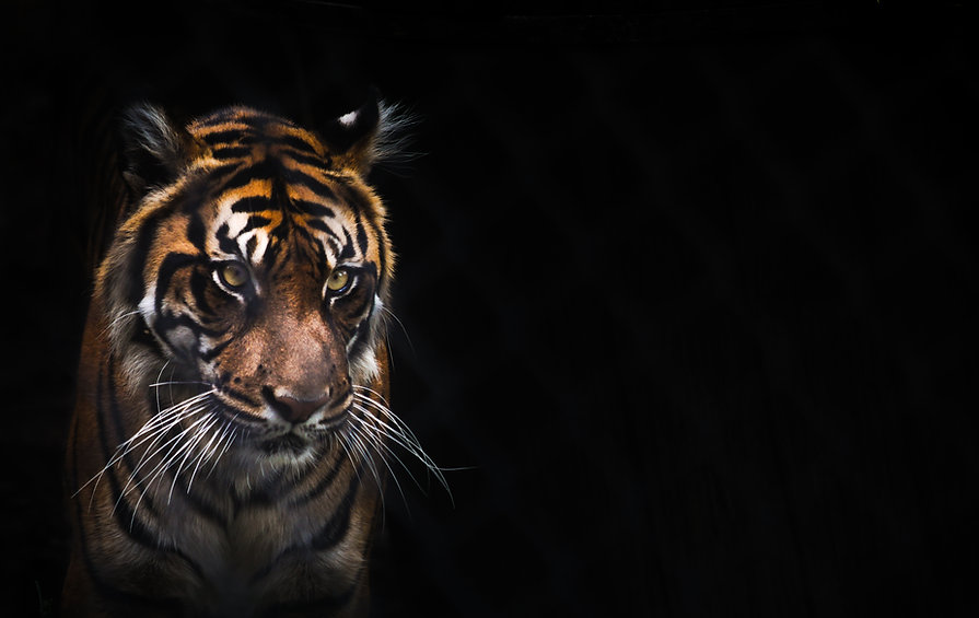 Tigered3.jpg