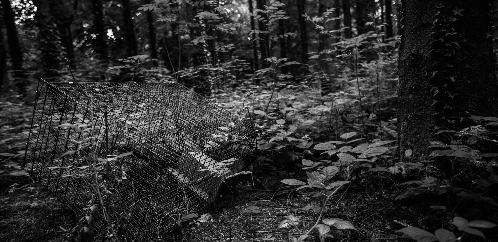 Irelandforest3bw.jpg