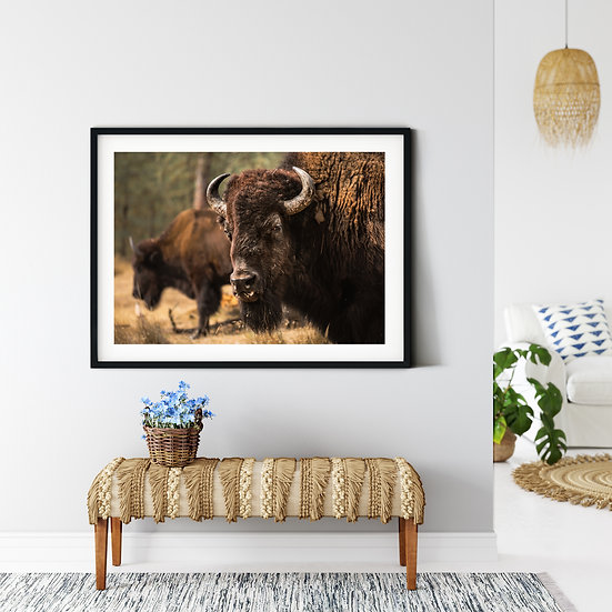 American Bison - Conservation Collection