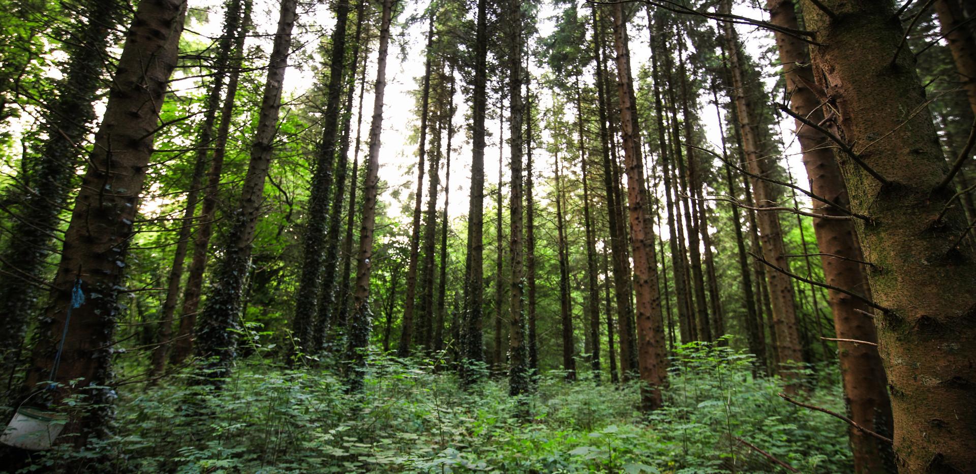 Irelandforest7.jpg