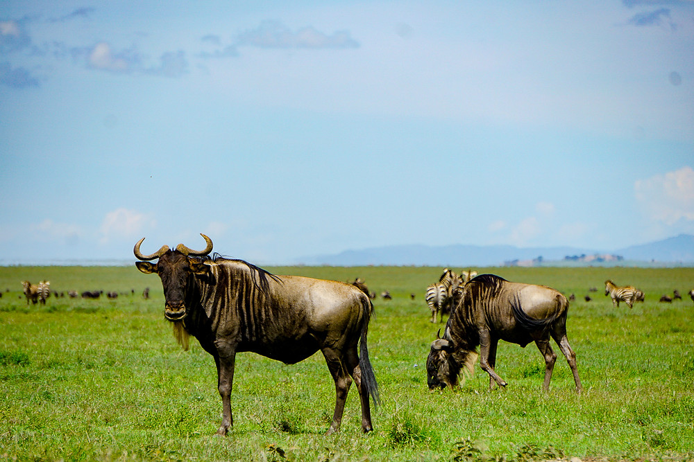 Wildebeest, Ngorogoro