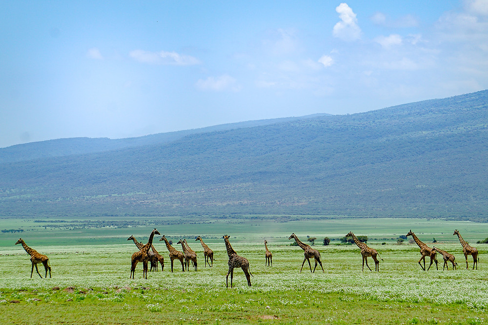 Giraffes, Ngorogoro Park