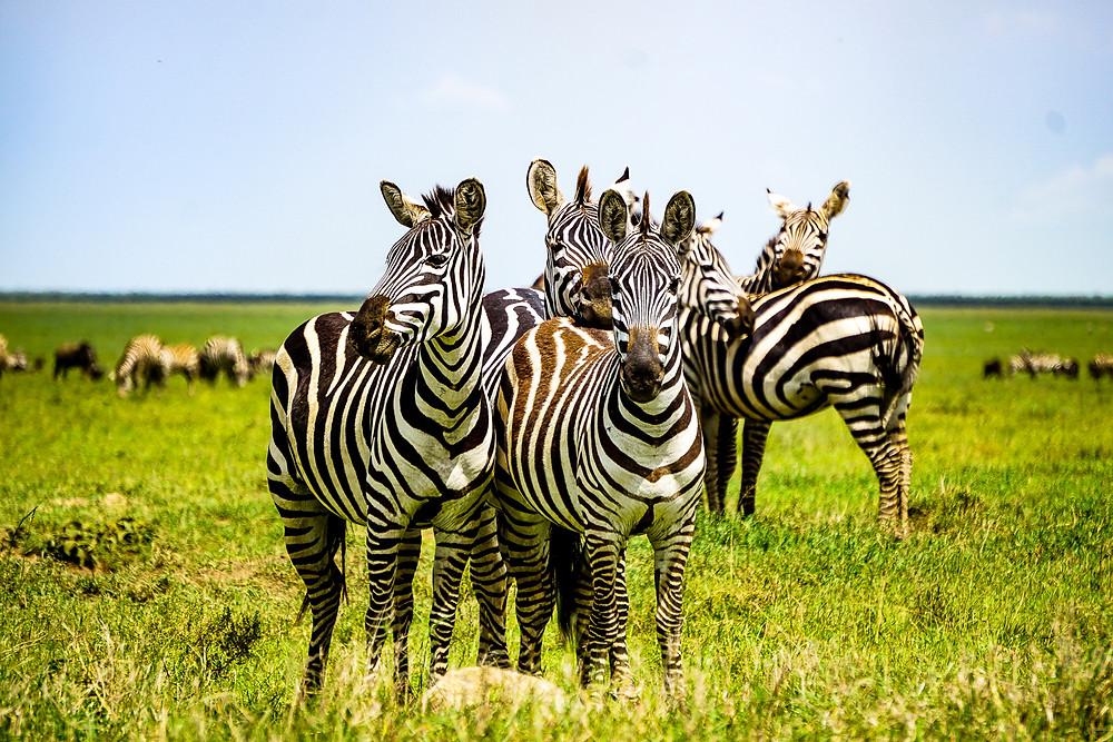 Zebra, Ngorogoro