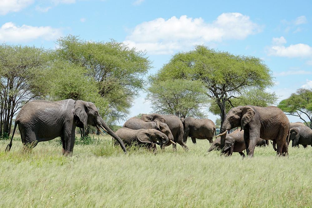 Elephant herd, Tarangire