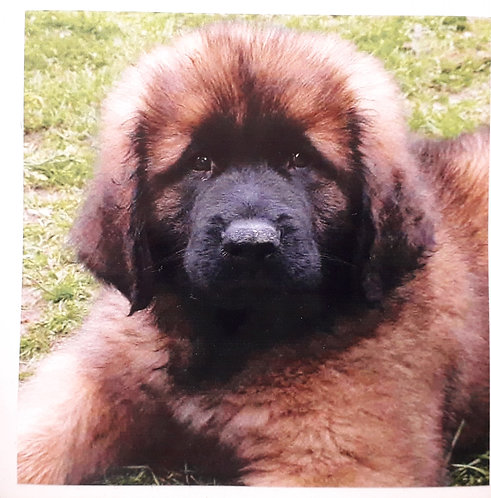Leonberger Puppy Sticker