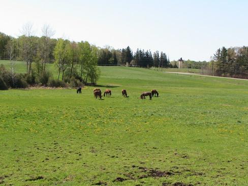 Mares in pasture