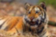 tigre-siberie_shutterstock_1045520476.jp