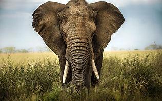 Loxodonta_Africana_©_Shutterstock_-_Lara