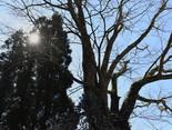 【田町天満宮の欅】樹齢約400年を誇る歴史ある大木