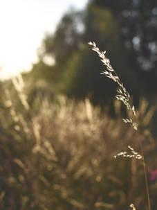 grass sundown.jpg