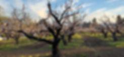 Blenheim Apricots in Bloom_1 .jpg