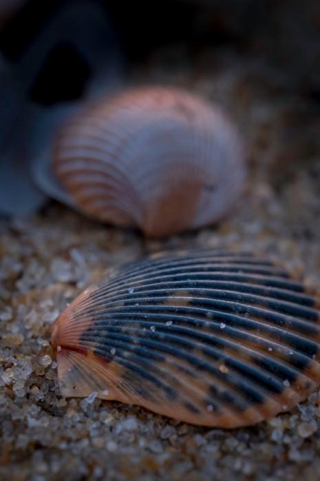 Coquina Beach Shells