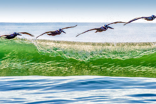 """Pelican Over Glassy Green Wave"""