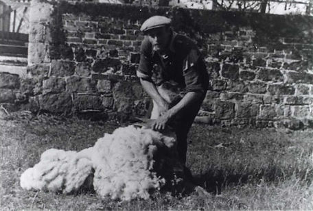 Mark Hammond (1894-1981), clipping a sheep