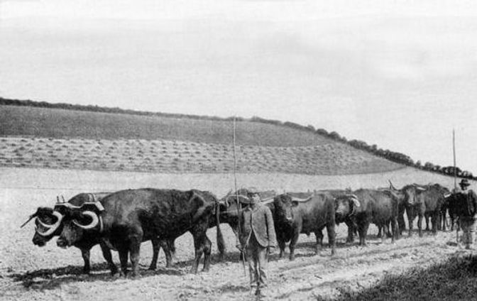 A team of 8 oxen ploughing