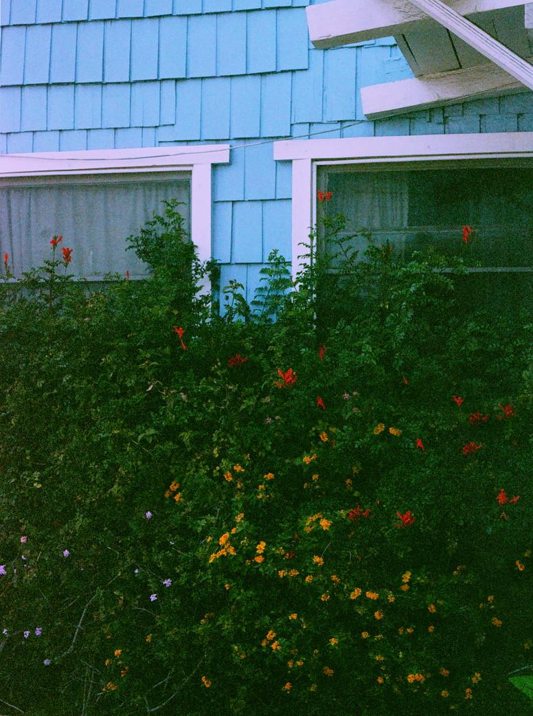 bluehomeflowerybush.jpg