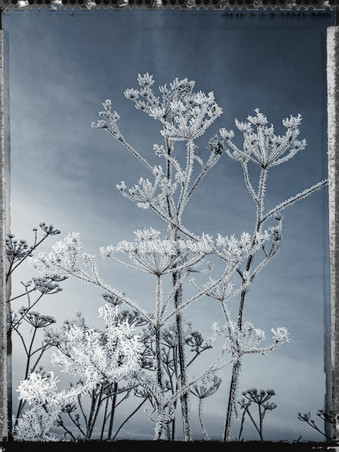 PL_1160430_Frozen_Flowers.jpg