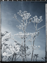 PL_1160430_Frozen_Flowers.jpg