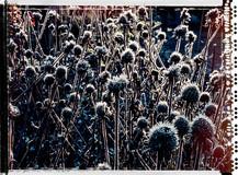 PL_1010053_edit_Frozen_Flowers.jpg