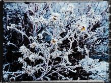 PL_1160335_Frozen_Flowers.jpg