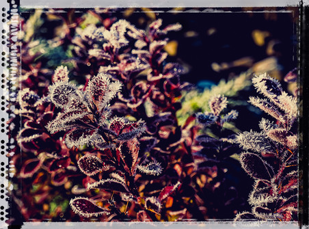 PL_1010115_edit_Frozen_Flowers.jpg