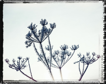 PL_1160465_edit_Frozen_Flowers.jpg