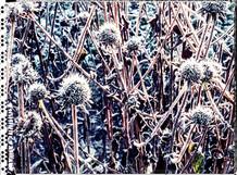 PL_1010071_edit_Frozen_Flowers.jpg