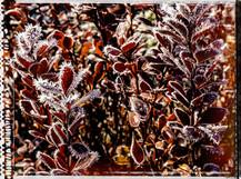 PL_1010142_edit_Frozen_Flowers.jpg