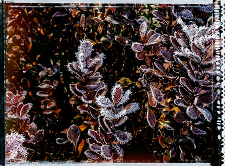 PL_1010137_edit_Frozen_Flowers.jpg