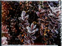PL_1010137_edit_Frozen_Flowers.jpg