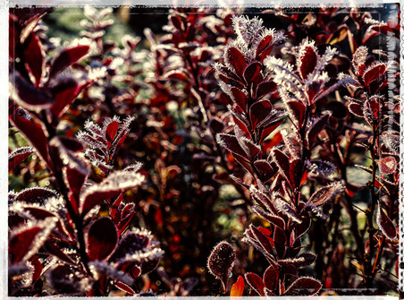 PL_1010124_edit_Frozen_Flowers.jpg