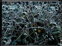 PL_1010099_Frozen_Flowers.jpg