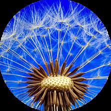 dandelion-rund.png