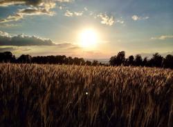 Rye Grass at Sunset