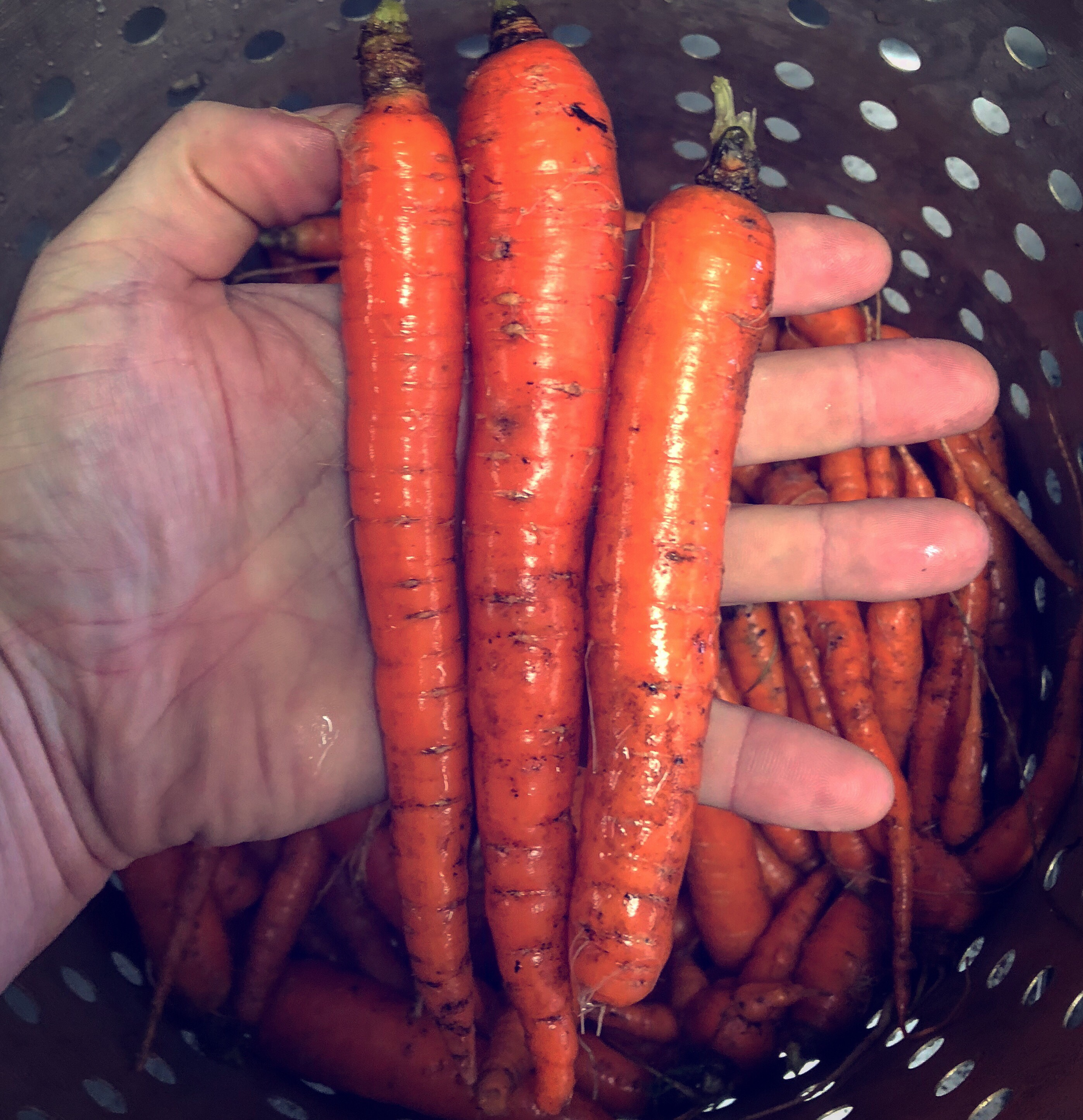 Timber Hill Farm - Fresh Carrots