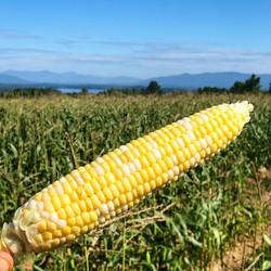 Timber Hill Farm - Corn and View