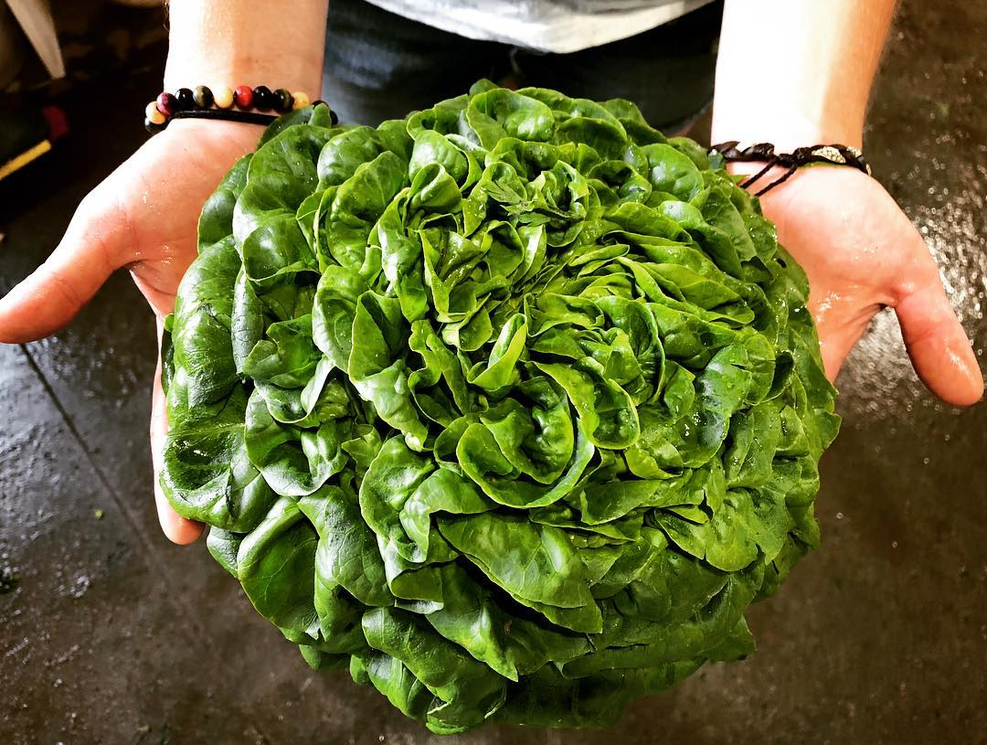 Timber Hill Farm - Lettuce Head