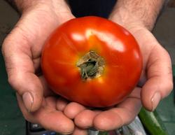 Timber Hill Farm - Field Tomato